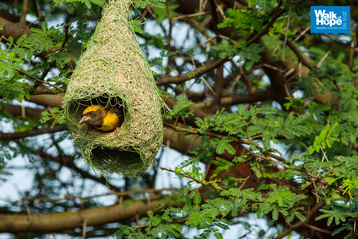 15.Master-weaver-at-work!,-the-weaver-bird-and-nest,-Sangli-Road,-Maharashtra)