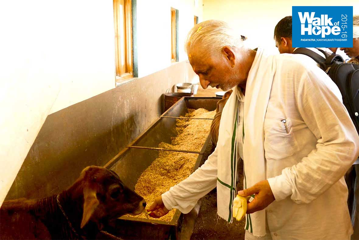 5.Sir-feeding-cattle-at-the-Goushala,-Bhuradabra,-Jhabua,-MP